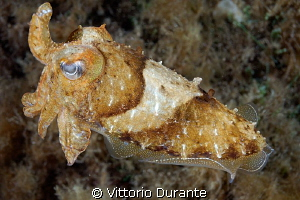 A little cuttlefish in a night dive. by Vittorio Durante 